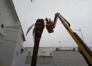 Varias palmeras de Fuente del Maestre afectadas por la plaga del picudo rojo