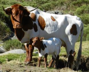 Las razas Berrenda en Negra y Colorado se muestran en una jornada técnica en la FIG de Zafra