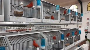 La exposición de la Asociación de Canaricultores de Zafra reúne 1.200 ejemplares que pueden verse en la Caseta Municipal