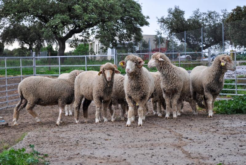 La Diputación de Badajoz participará en la subasta de ganado de la Feria Internacional Ganadera de Zafra