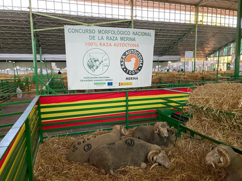 La nave de ovinos de la Feria de Zafra cuenta con más de 1000 ejemplares de extraordinaria calidad