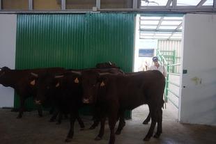 Cerca de 2.500 cabezas de ganado ovino, vacuno, porcino ibérico y equino, en la FIG de Zafra
